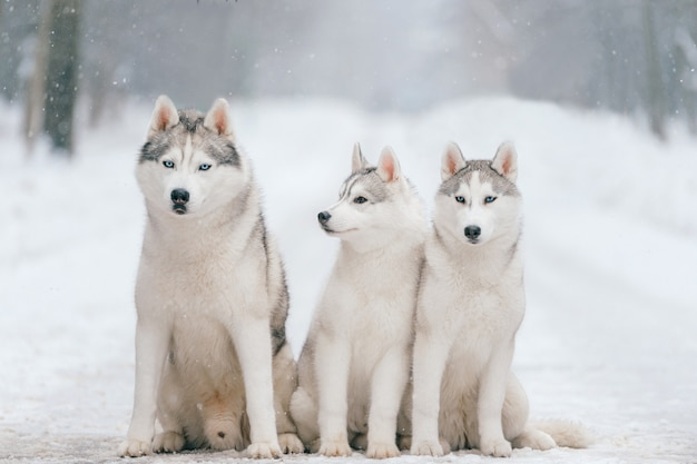 Outdoor winter portrait of siberian husky dog family Premium Photo