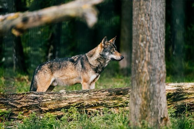 Открытый волчий портрет. дикий хищник-хищник на природе после охоты. Premium Фотографии