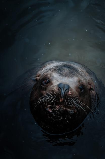 カメラを見上げて水の中のかわいいアシカのオーバーヘッドショット 無料写真