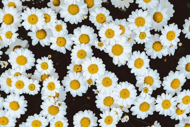 カモミールデイジーの花畑のオーバーヘッドショット 無料写真