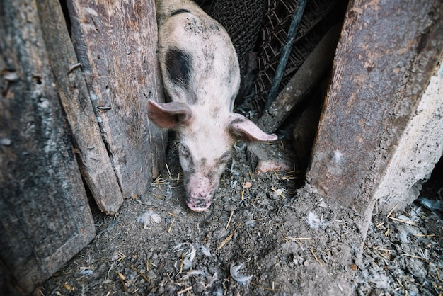An overhead vie of pig coming out from the pig pen Free Photo