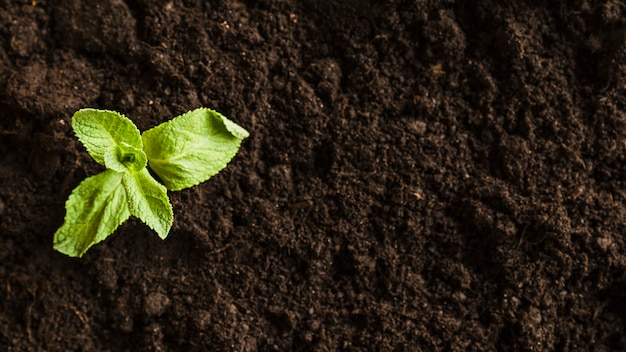 An overhead view of a mint seedling in the soil Free Photo