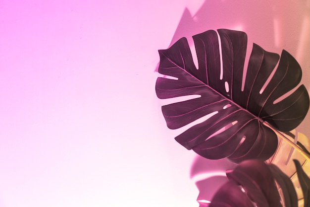 An overhead view of monstera leaves on pink background Free Photo