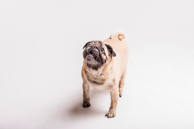 Overhead view of pug dog looking up Free Photo