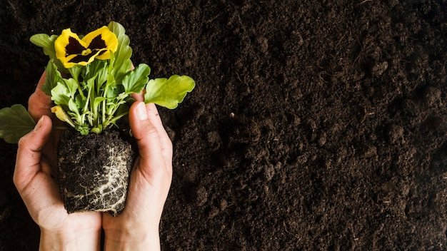 An overhead view of woman's hand holding pansy flower plant over the soil Free Photo