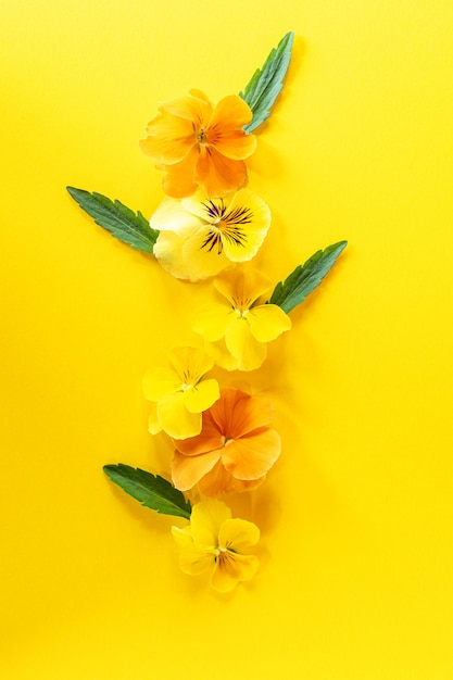Виола анютины глазки цветок творческая композиция. желтая весна цветет на предпосылке ow yel. цветочная композиция, элемент дизайна. концепция весеннего времени. вид сверху, плоская планировка. Premium Фотографии