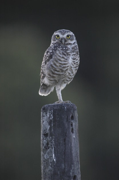 Owl with beautiful yellow eyes sitting on a wooden column Free Photo