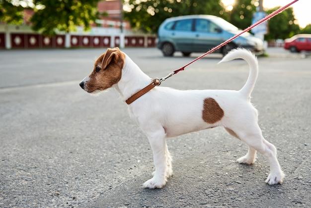 Владелец выгуливает свою собаку джек рассел терьер снаружи Premium Фотографии