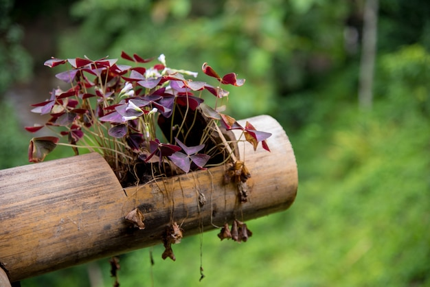 Oxalis triangularis in a bamboo pot. Premium Photo