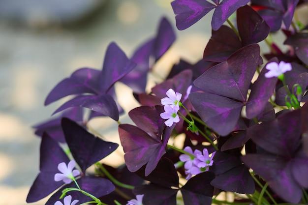 Oxalis triangularis Premium Photo