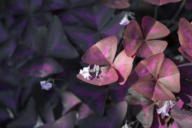 Oxalis triangularis Premium Photo