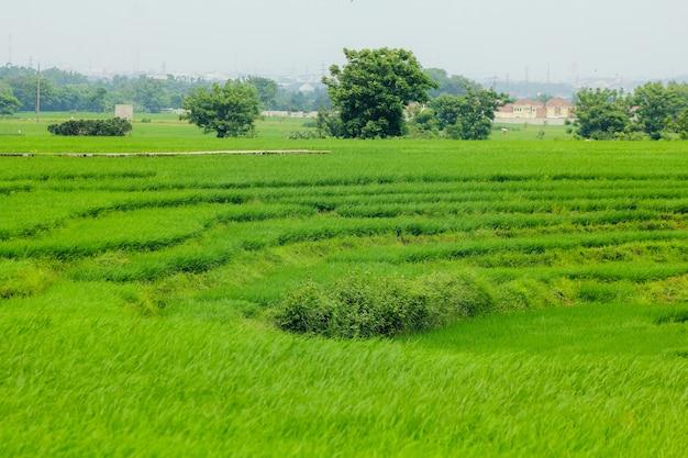 Paddy rice field Premium Photo