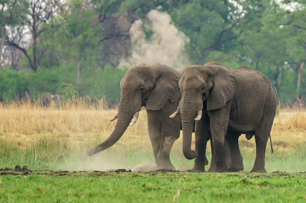 Coppia di elefanti africani che camminano nella terra con polvere e vegetazione Foto Gratuite