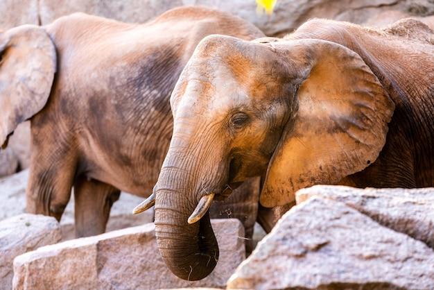 Pair of african savannah elephants, loxodonta africana, strolling calmly. Premium Photo