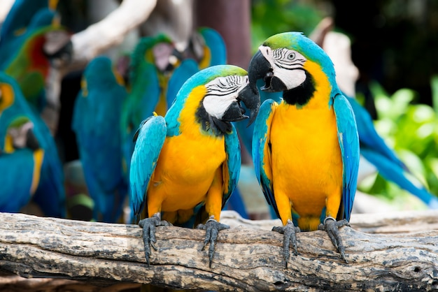 A pair of blue-and-yellow macaws perching at wood branch in jungle. colorful macaw birds in forest. Premium Photo