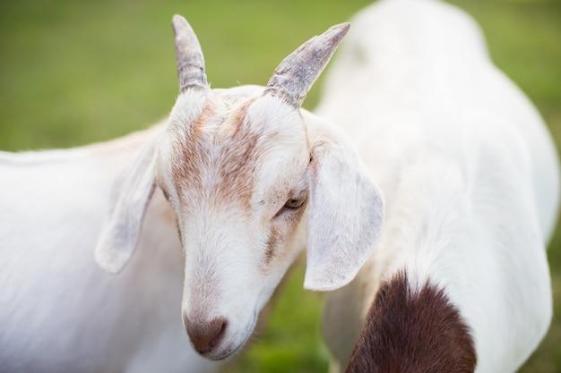Coppia di simpatiche capre bianche in un campo erboso Foto Gratuite