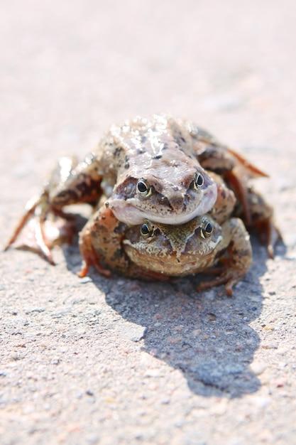 Pair of frogs Premium Photo