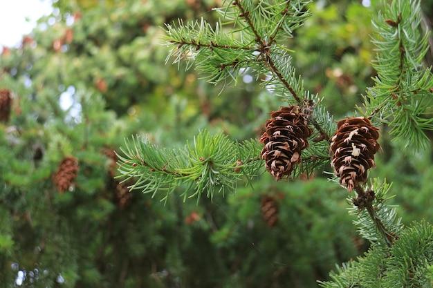 Пара сухих сосновых шишек, висящих на дереве осенью патагонии Premium Фотографии