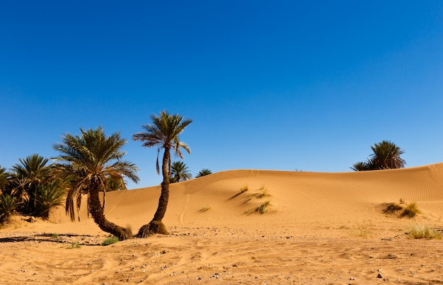 Palm in the  desert oasis morocco Premium Photo