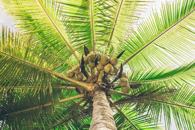 Palm tree full of coconuts illuminated by sunlight. costa rica Premium Photo