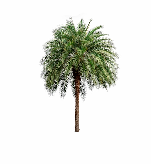 Palm tree in garden isolated on white background Premium Photo