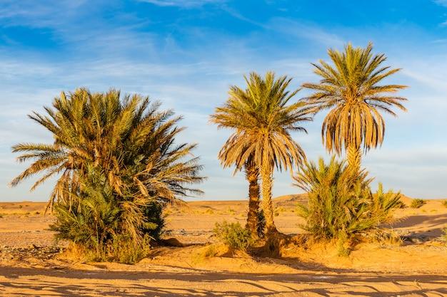 Palm tree in sahara desert Premium Photo