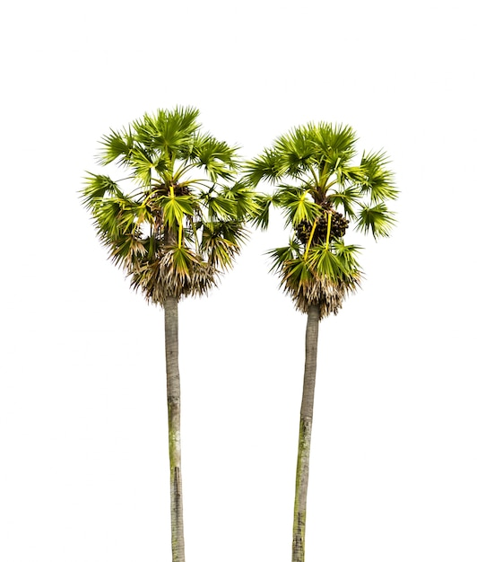 Palm tree with a white background photo free download palm tree with a white background free photo voltagebd Images