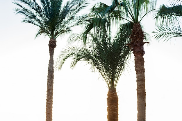 Palm trees on smoke. vintage post processed. vacation and tropical beach concept Premium Photo