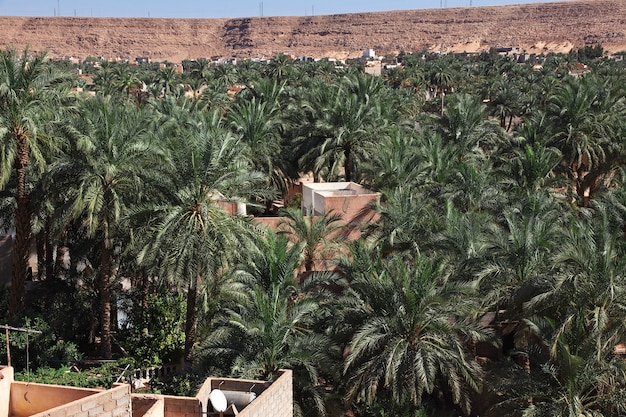 Palm tress in ghardaia city, sahara desert, algeria Premium Photo