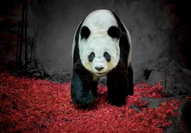 Panda bear standing at the zoo. Premium Photo