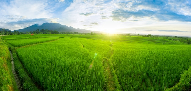 Panorama paddy fields in the morning light Premium Photo