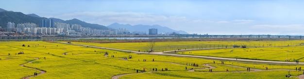 Panorama view of big yellow rape flowers in busan city south korea. Premium Photo