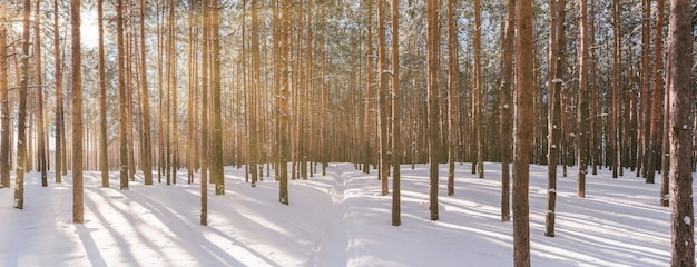Panorama of winter forest with sunshine Premium Photo