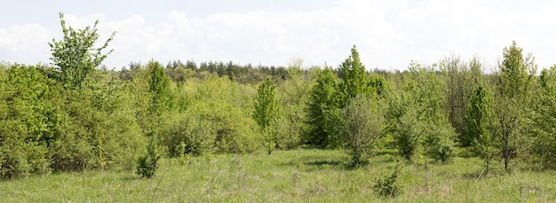 Panorama of young forest Premium Photo