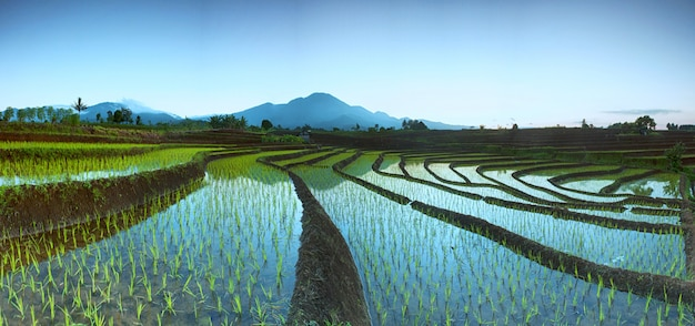 Panoramic of rice fields with beauty morning and mountain in indonesia Premium Photo