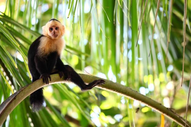 Scatto panoramico di una scimmia cappuccino pigramente seduta su un lungo ramo di palma Foto Gratuite