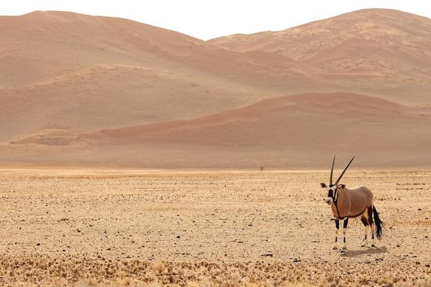 Панорамный снимок гемсбока, стоящего на голой равнине с холмами Бесплатные Фотографии