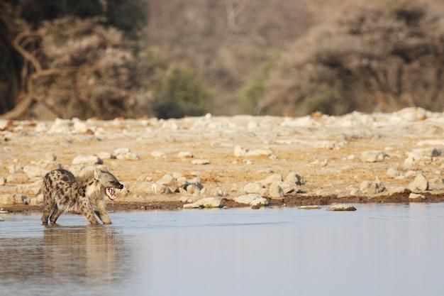 Панорамный снимок гиены, растягивающейся в водоеме Бесплатные Фотографии