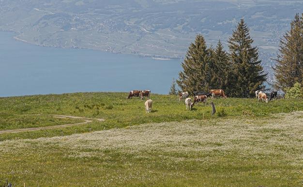Vista panoramica di lavaux, svizzera con mandrie di mucche che mangiano erba Foto Gratuite