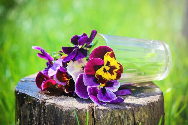 Pansies blooming flowers. selective focus. flora and fauna. Premium Photo