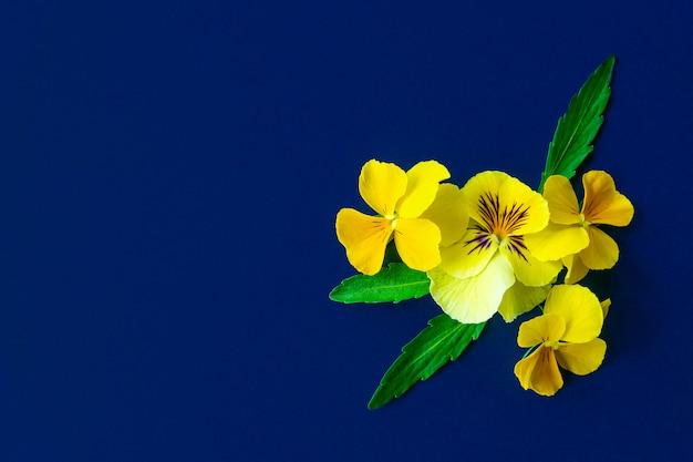 Pansy цветет состав на предпосылке голубой бумаги. скопируйте место для текста Premium Фотографии