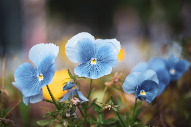 Pansy flowers in the garden Premium Photo