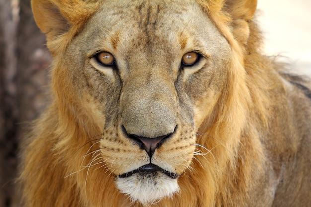 男性アフリカンライオン(panthera leo)の肖像 Premium写真