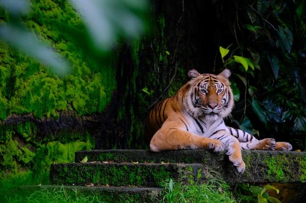 Сибирский тигр (panthera tigris altaica), также известный как амурский тигр Premium Фотографии