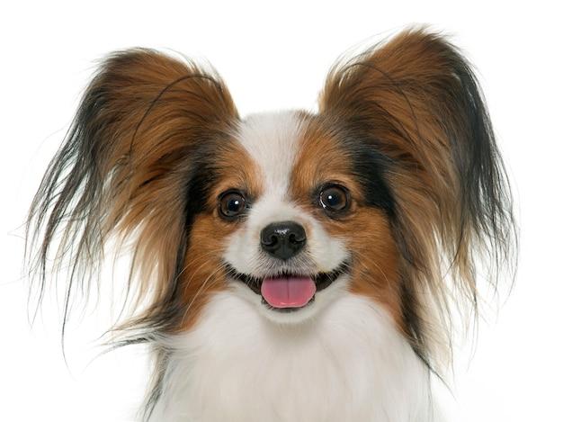 Papillon dog Premium Photo