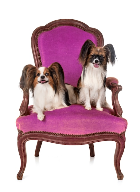 Papillon dogs on armchair Premium Photo