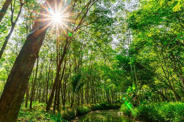 Para rubber tree, latex rubber plantation and tree rubber Premium Photo