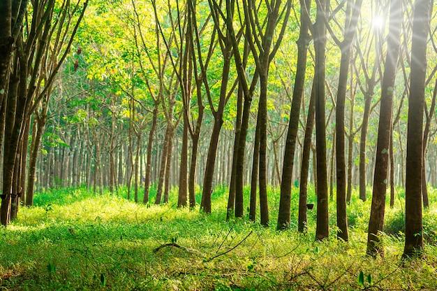 Para rubber tree, latex rubber plantation Premium Photo