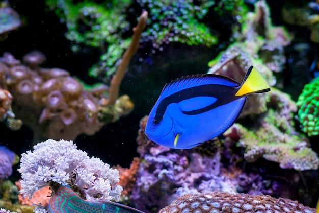 Paracanthurus hepatus, blue tang in home coral reef aquarium. selective focus. Premium Photo