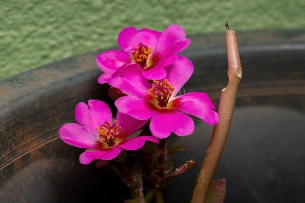 Portulaca Amilis 종의 파라과이 쇠비름 꽃 프리미엄 사진